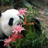 pandaplays