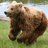"""Laughing Bear Comedy Show Number 29 """"Basketball"""" March 29, 2015"""