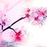 Sakura Hanani