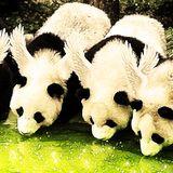 Winged Panda