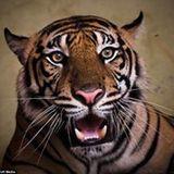 Tony El-Tigre