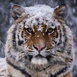 Oleg Tiger