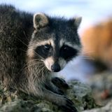 Who visits raccoon latrines, and boosting cancer therapy with gut microbes