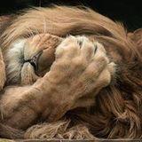 Bach Lion