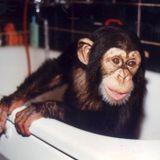 Apan Ola - schimpansen som försvann
