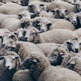 Still More Sheep