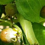 Apple growers hit by intense Adelaide hail storm