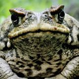 Cane toads to get the Crispr treatment