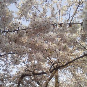 2012弘前桜祭移動用mix