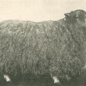 No Lamb, Only Sheep.