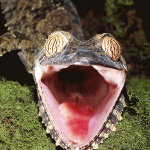 Hasjcore - The Gecko Mix