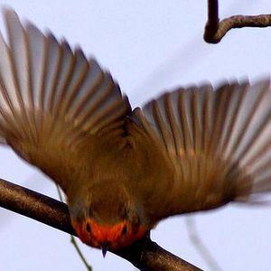 Niti_Fly_Robin