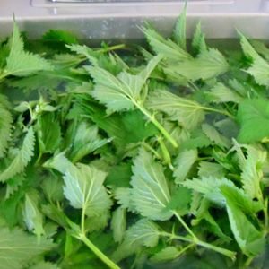 Nettles are good for you (Really) Noelene CC  Chats to Johnny March 2014