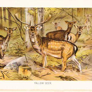 ZOOECHO RECORDS #4 Fallow Deer / Daniel (eswuer)