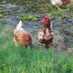 How  saving a chicken can make the world listen up
