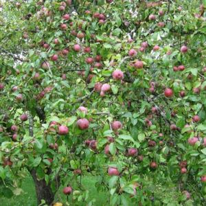 Vācam ābolu ražu! Pašus kokus kopsim vēlāk