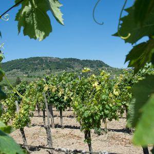 Nem a termelők szüretelik le a szőlő hasznát (Hangoló 2021. 09. 23.) - 1.