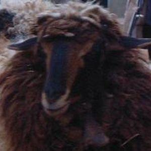 Dirham Bakschisch - Sheepinator