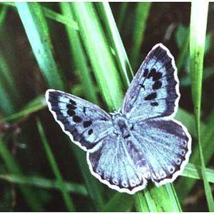 Azurée du Serpolet : deejay & chasseuse de papillons