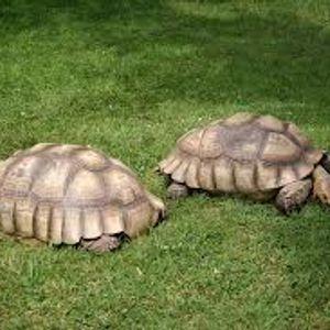 Vous reprendrez bien un peu d'purée #9 La tortue charbonnière à pattes rouges caféinomane est elle c