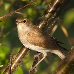 Midnight Nightingale