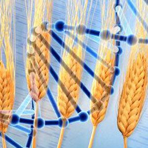 Pythagoras' Trousers Episode #421 - Mapping the wheat genome, national coding week & astronomy