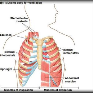 Theory – PG  – Respiratory System   Part 1