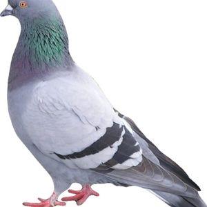 Pigeon Hydraulique #03