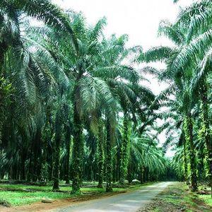 Palmöl - die versteckte Gefahr für die Welt