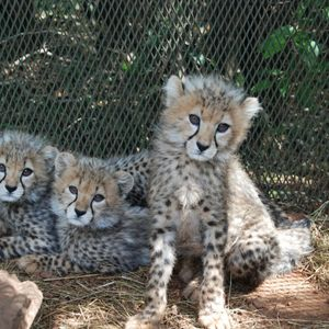 Cheetahs - on the brink of extinction