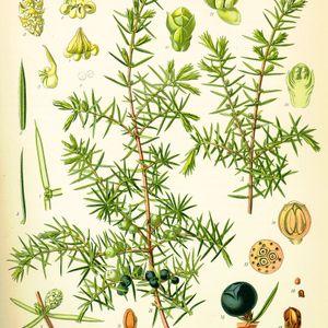 Saperavi, juniperus et candaulism