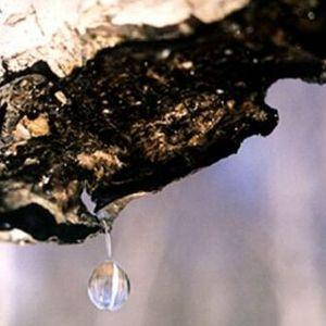 Bērzu sulas – dabisks enerģijas dzēriens!