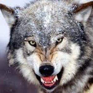 El Llop i els humans