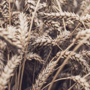May the Wheat Dance