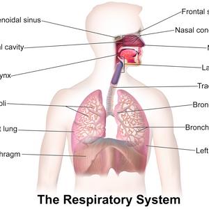 •Ayurvedic Management of  Respiratory  System Problem