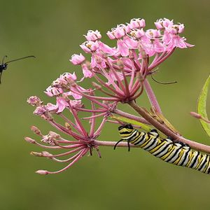 Ep. 73- On Milkweeds and Monarchs: The Search for a Smoking Gun
