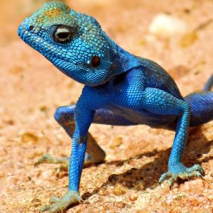 Podcast 36 - Can we be smarter than a lizard?
