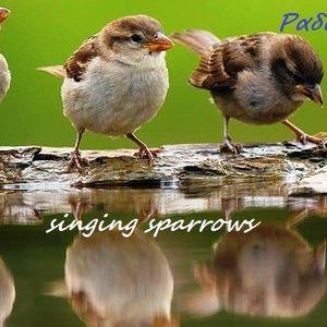 Singing Sparrows