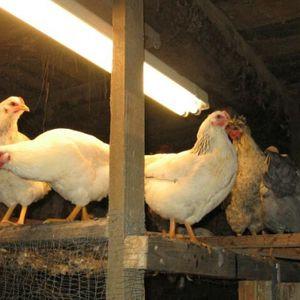 Rūpnieciski un bioloģiski audzētas vistas. Kādu gaļu iegādāties?