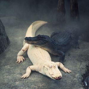 Claude, the Alligator