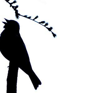 Influential Birds