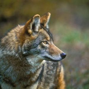 Hour of the Wolf News (November 23rd, 2015)