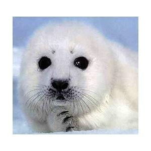 Repeat: Interview with Brian Lochlaer, Harp Seals DFW