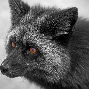 Black Fox New Songs #2