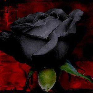 Black Rose 24-6-17