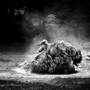 Attila - Ostrich