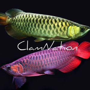 Arowanas And Discus Fish