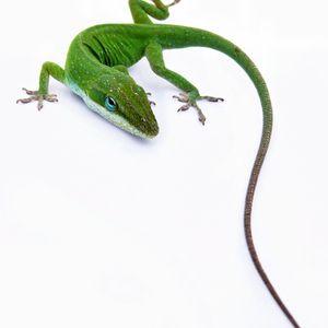 Illegal Lizard Volume 1