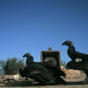 California Condor Recovery in Pinnacles National Park