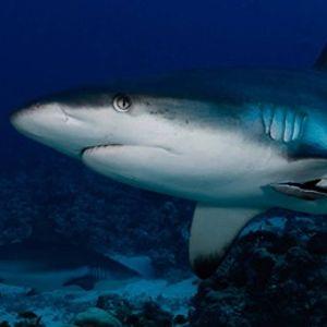 La Dive Bubble -Des hommes et des requins-